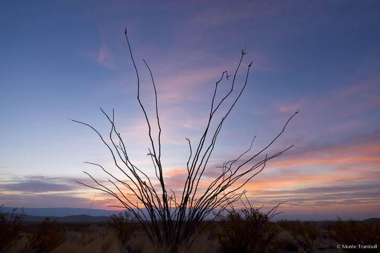 An ocotillo plant is silhouetted against a pink and blue sky at sunrise in Big Bend National Park in Texas.
