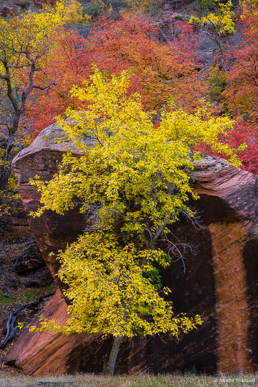 A golden maple tree stands in front of a large red rock in a river valley in Zion National Park in Utah.