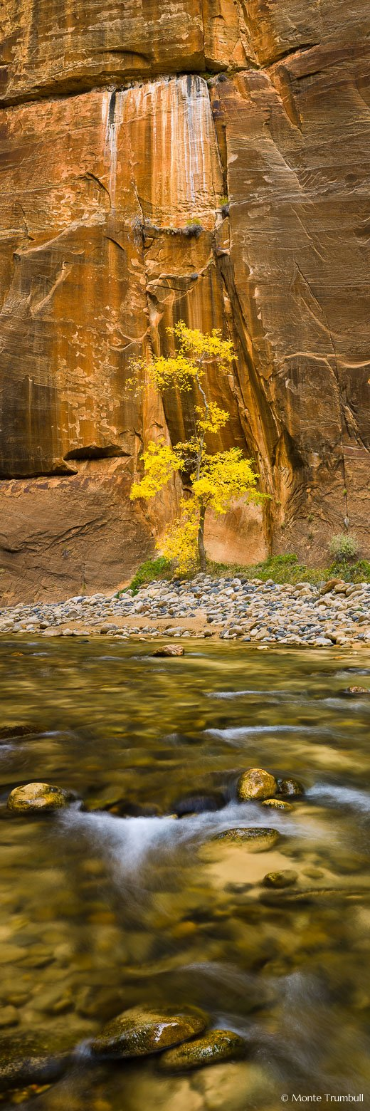 A lone golden cottonwood tree stands in an alcove in the sheer red rock walls of the Narrows in Zion National Park, Utah.