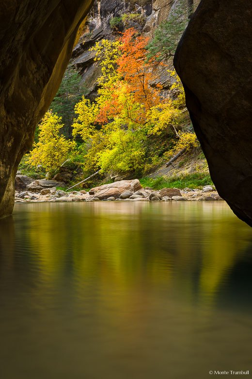 A glowing stand of multicolored trees are reflected in the smooth water of the North Fork of the Virgin River in Zion National Park, Utah.