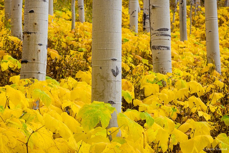 Aspen trunks are surrounded by golden thimbleberry plants at the peak of autumn color along Notch Mountain Road in central Colorado.