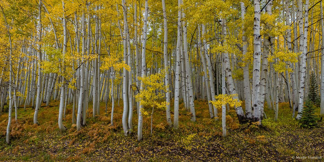Rust colored ferns carpet the ground beneath a golden aspen grove in the Gunnison National Forest outside of Crested Butte, Colorado.