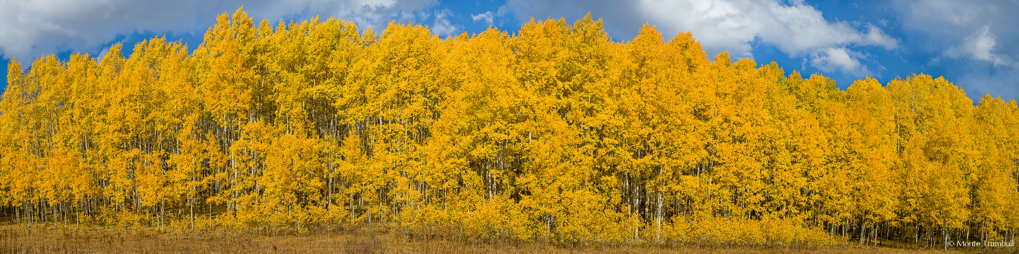 A panoramic view of golden aspen trees with blue skies and puffy white clouds overhead in the Gunnison National Forest west of Crested Butte, Colorado.