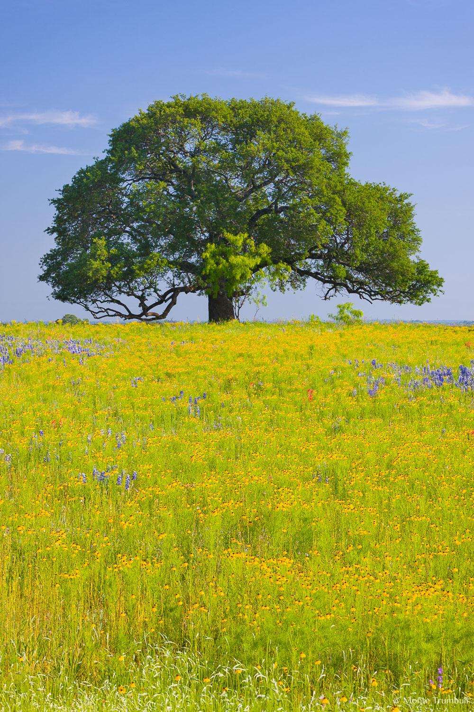 MT-20100421-092952-0008-Edit-Texas-Hill-Country-oak-tree-golden-field.jpg
