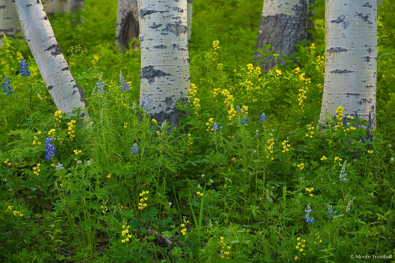 MT-20070619-175640-0018-Colorado-aspen-trunks-flowers.jpg
