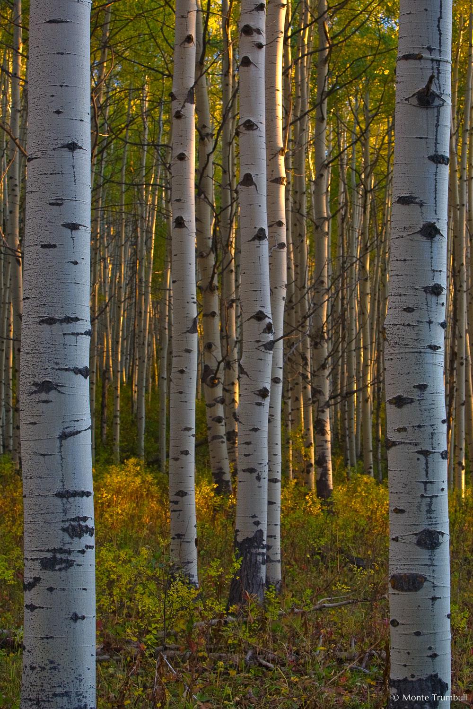 MT-20070926-185143-099-Edit-Colorado-aspen-trunks-fall-color.jpg