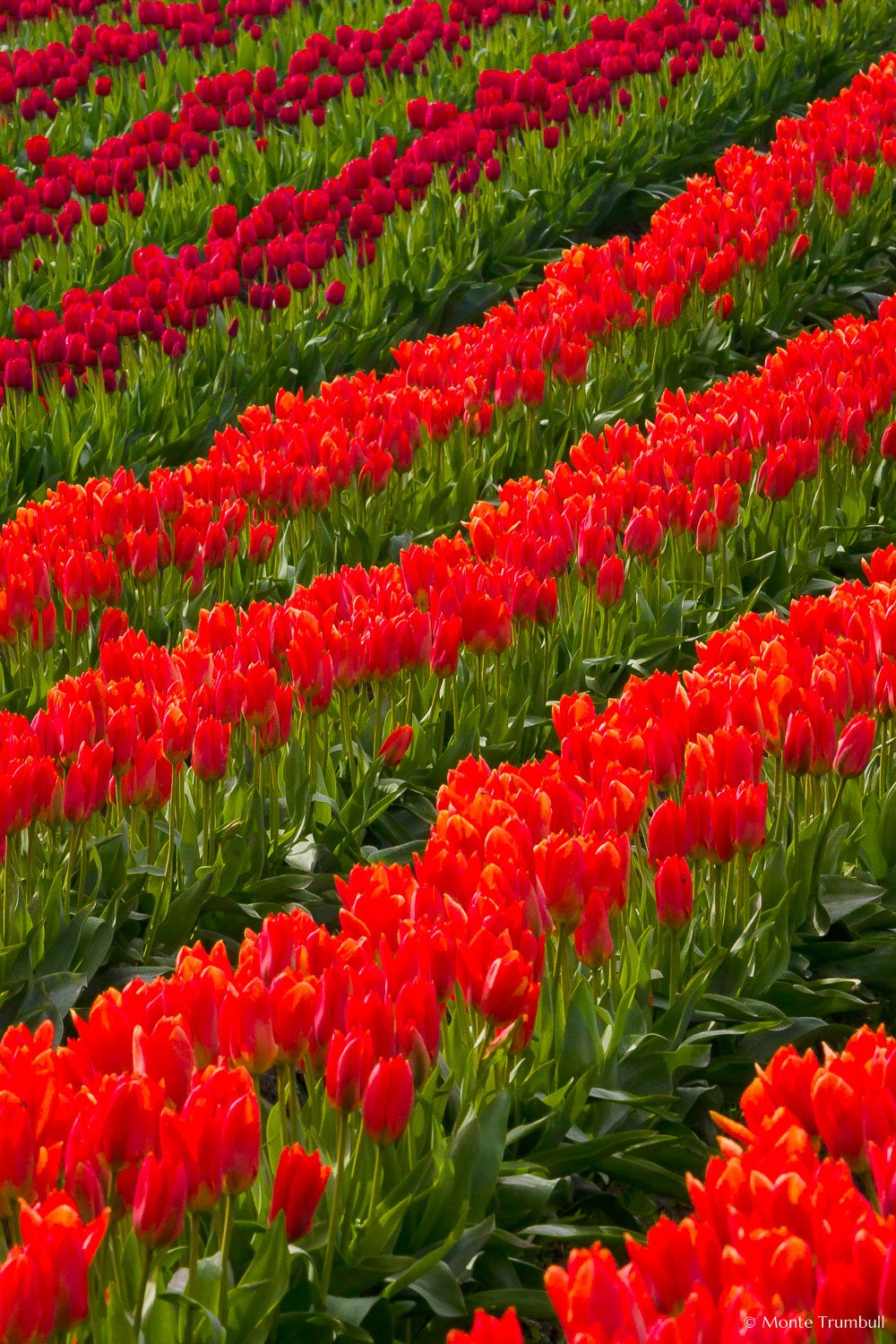 MT-20080410-163647-0001-Washington-Skagit-Valley-tulips-red-orange.jpg