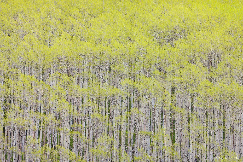 MT-20080612-072857-0016-Colorado-aspen-trees-spring.jpg