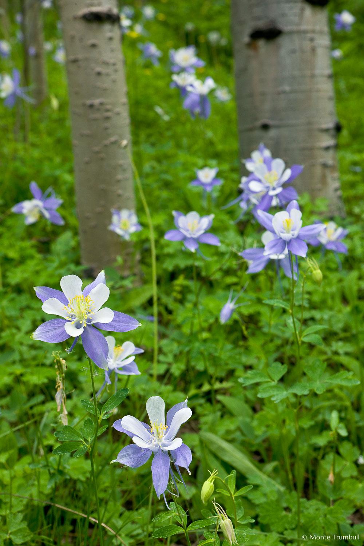 MT-20080716-132834-0071-Edit-Colorado-aspen-trunks-flowers-blue-columbines.jpg