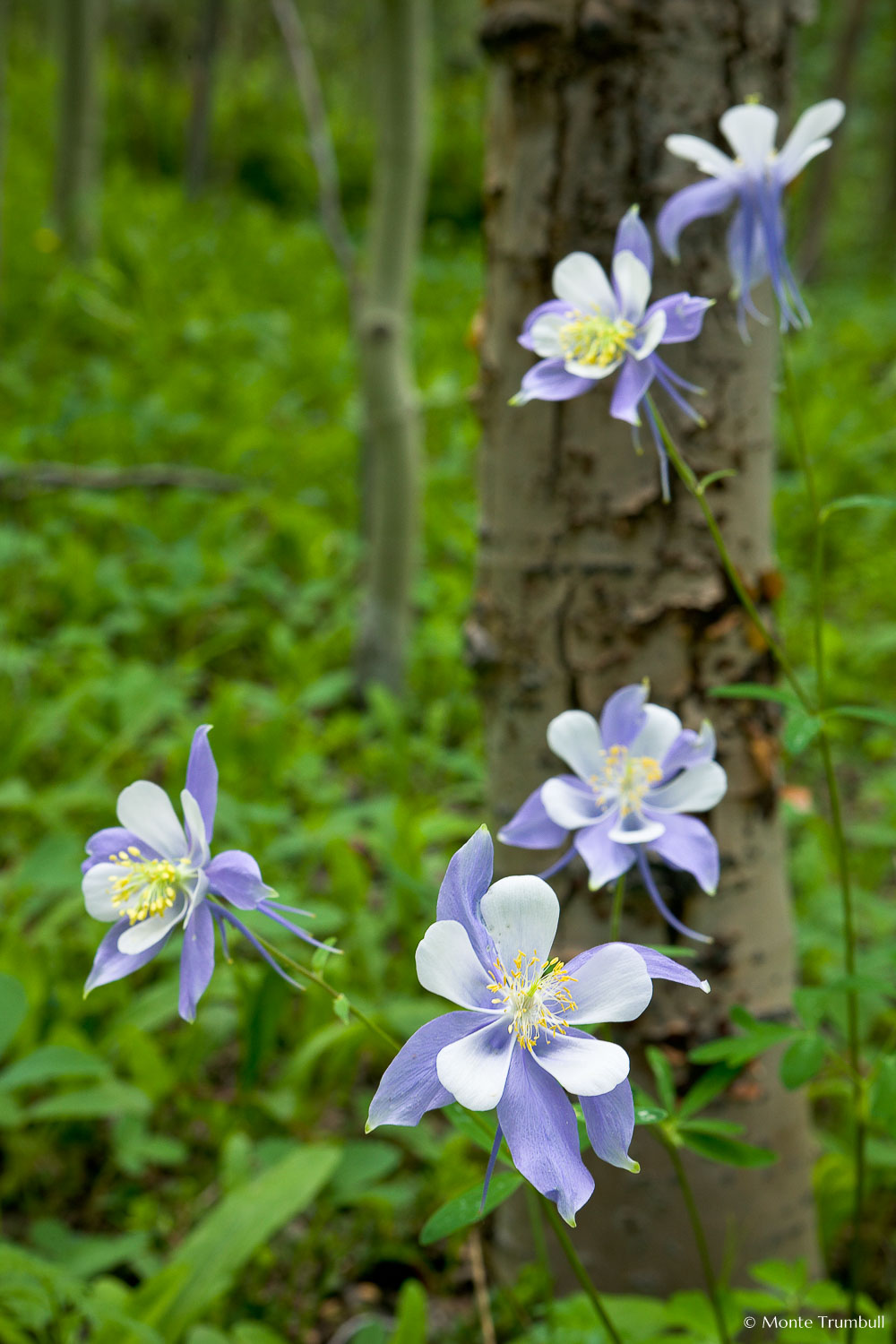 MT-20080716-134511-0078-Edit-Colorado-aspen-trunks-flowers-blue-columbines.jpg