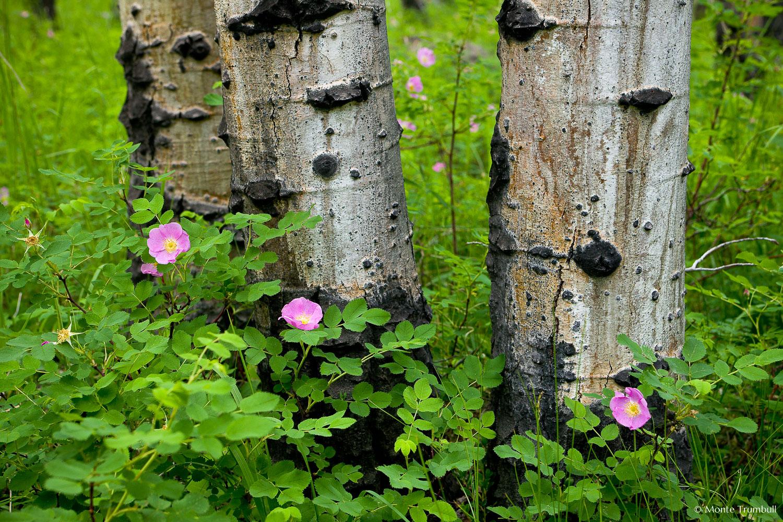 MT-20080716-144243-0136-Edit-Colorado-aspen-trunks-flowers-pink-wild-roses.jpg
