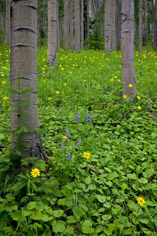 MT-20080717-141831-0130-Edit-Colorado-aspen-trunks-flowers-yellow-amica.jpg