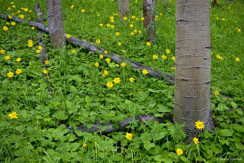 MT-20080717-142126-0134-Edit-Colorado-aspen-trunks-flowers-yellow-amica.jpg
