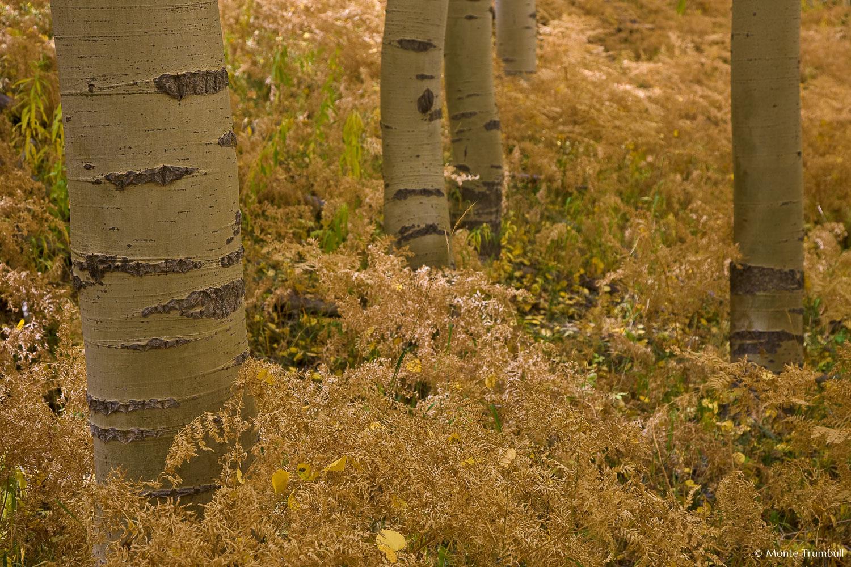 MT-20080930-135622-0086-Edit-Colorado-aspen-trunks-golden-ferns.jpg
