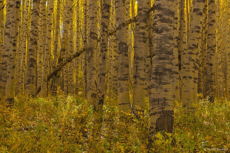 MT-20080930-142521-0090-Colorado-aspen-trunks-fall-color.jpg