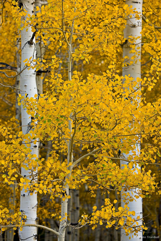 MT-20081010-160827-0094-Edit-Colorado-golden-aspen-leaves-trunks.jpg