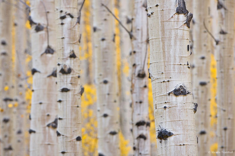 MT-20110929-164039-0039-Colorado-Buena-Vista-aspen-trunks-fall-color.jpg