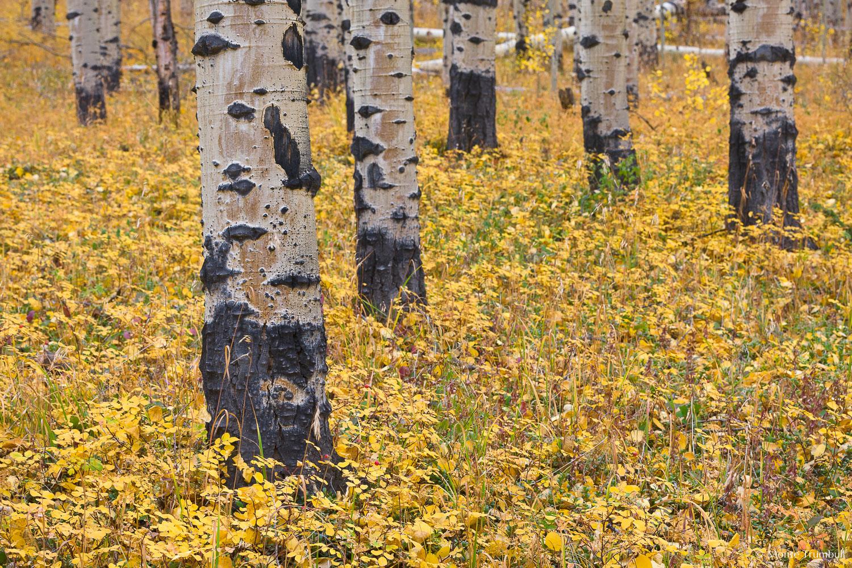MT-20110929-164252-0041-Colorado-Buena-Vista-aspen-trunks-golden-leaves.jpg