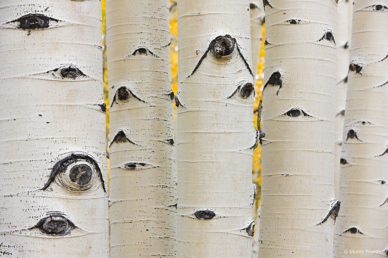 MT-20110930-075044-0035-Colorado-Buena-Vista-aspen-trunks-fall-color.jpg