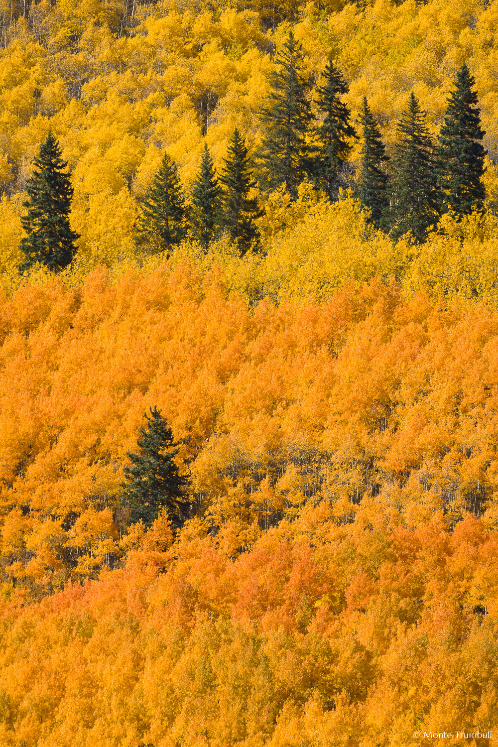 MT-20111003-144344-0035-Colorado-golden-orange-aspens.jpg