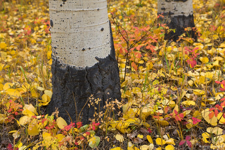 MT-20111004-144540-0067-Colorado-Buena-Vista-aspen-trunks-golden-leaves.jpg