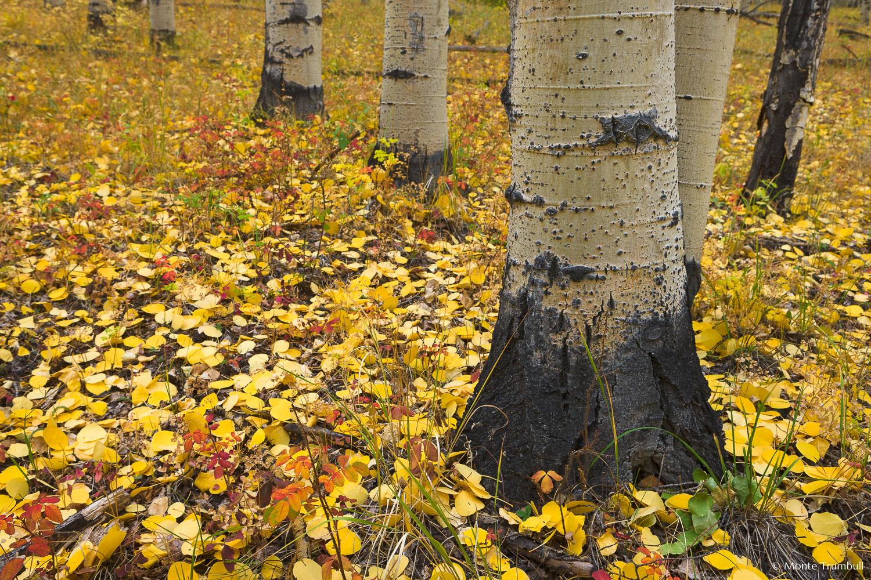 MT-20111004-145309-0070-Colorado-Buena-Vista-aspen-trunks-golden-leaves.jpg