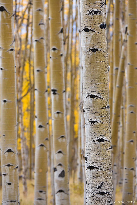 MT-20111004-154823-0082-Colorado-Buena-Vista-aspen-trunks-fall-color.jpg