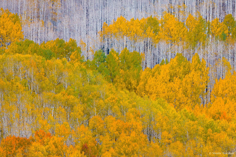 MT-20120930-151458-0104-Colorado-golden-green-aspens-white-trunks.jpg