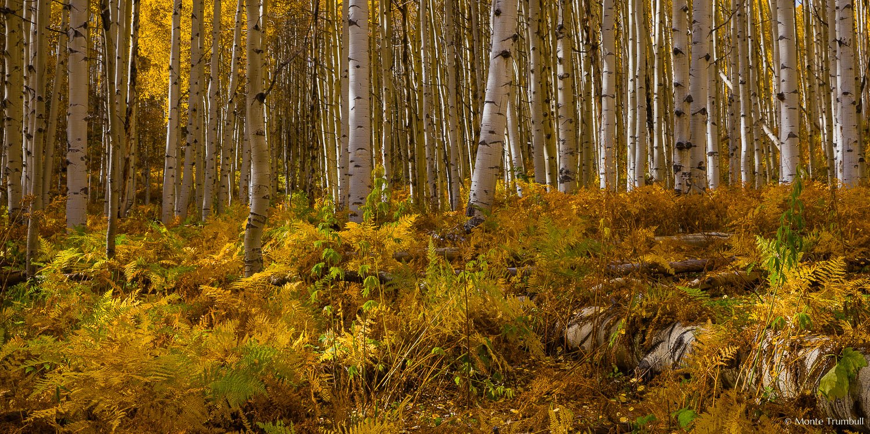 MT-20151008-144215-0007-Pano-Colorado-golden-aspen-undergrowth-autumn.jpg