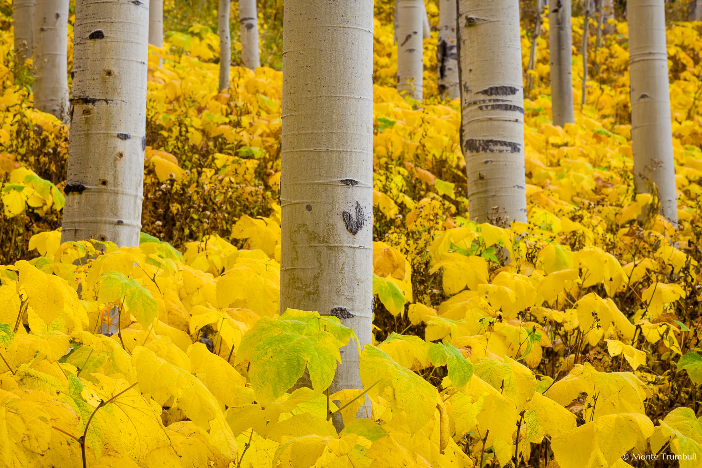 MT-20160922-132306-0010-aspen-grove-autumn-gold-Colorado.jpg