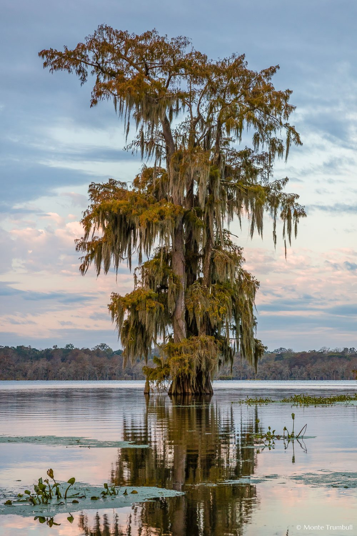 MT-20181111-070712-0039-Edit-Bald-Cypress-Autumn-Lake-Martin-Louisiana.jpg