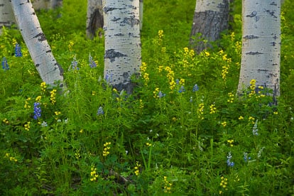MT-20070619-175640-0018-Colorado-aspen-trunks-flowers.jpg