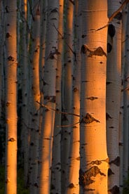 MT-20070926-185818-0103-Edit-Colorado-aspen-trunks-sunset-light.jpg