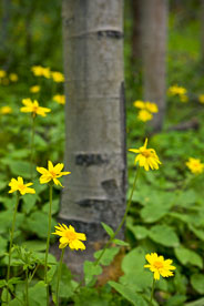 MT-20080716-170703-0183-Edit-Colorado-aspen-trunks-flowers-yellow-amica.jpg