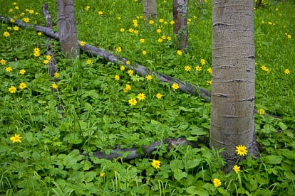 MT-20080717-142126-0134-Edit-Colorado-aspen-trunks-flowers-yellow-amica.jpg