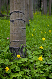 MT-20080717-142952-0138-Edit-Colorado-aspen-trunks-flowers-yellow-amica.jpg