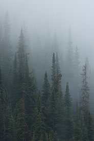 MT-20080808-121658-0032-Colorado-pine-trees-rain-mist.jpg
