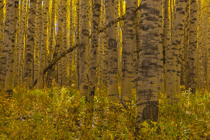 MT-20080930-142521-0090-Colorado-aspen-trunks-fall-color.jpg
