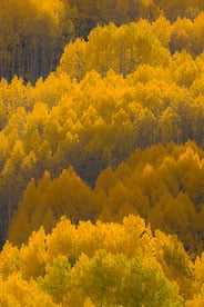 MT-20081001-170606-0126-Edit-Colorado-golden-aspens.jpg