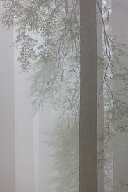 MT-20090602-170104-0128-California-Del-Norte-Rewoods-State-Park-redwoods-fog.jpg