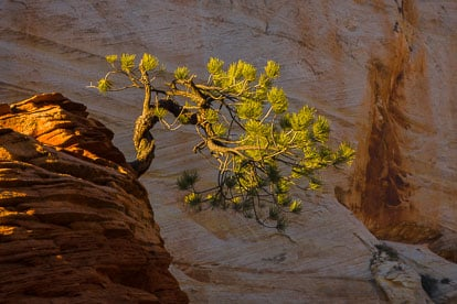 MT-20101101-180051-Utah-Zion-National-Park-twisted-pine-Zion-Plateau.jpg