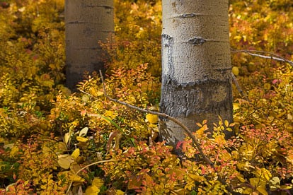 MT-20110929-105302-0017-Colorado-Buena-Vista-aspen-trunks-golden-leaves-.jpg