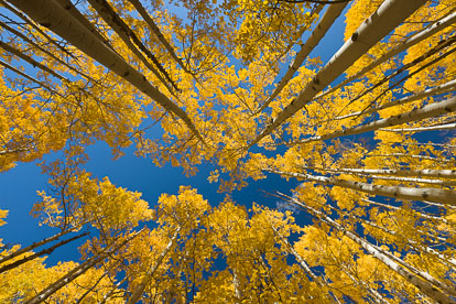 MT-20111002-093524-0007-Colorado-Buena-Vista-golden-aspen-trees-blue-sky.jpg