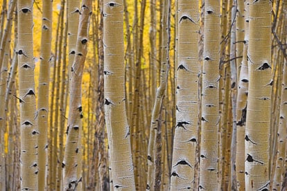 MT-20111004-154006-0075-Colorado-Buena-Vista-aspen-trunks-fall-color.jpg