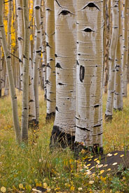MT-20111004-155127-0084-Colorado-Buena-Vista-aspen-trunks-fall-color.jpg