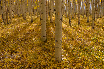 MT-20111005-103932-0083-Colorado-Aspen-Ridge-golden-aspen-grove.jpg