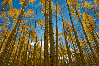 MT-20111005-104233-0001-Colorado-Buena-Vista-golden-aspen-trees-blue-sky.jpg