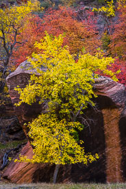 MT-20121104-170528-0026-Utah-Zion-National-Park-golden-maple-red-rock.jpg
