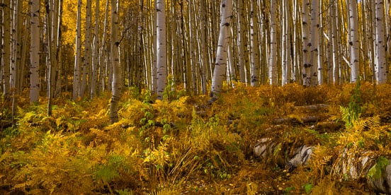MT-20151008-144215-0007-Pano-Colorado-golden-aspen-undergrowth-autumn.jpg