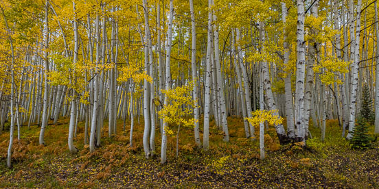 MT-20171002-132902-0017-Pano-Golden-aspens-ferns-Gunnison-National-Forest-Colorado.jpg